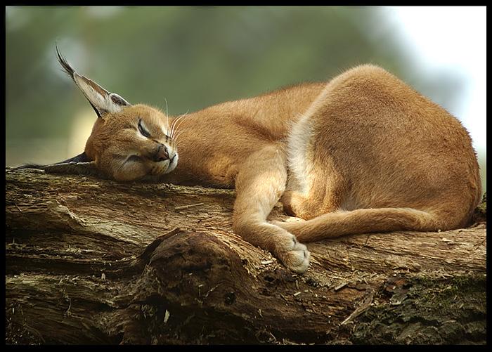 Il Caracal (simile ad un micio, ma non è un micio...quasi) dans gattoni...cioè...felini caracal5