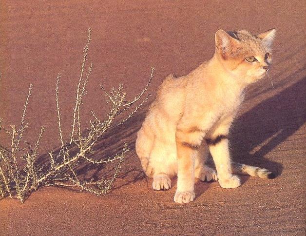 Le chat des sables est un tout petit félin, pas plus grand quun chat domestique, il mesure de 70 à 90cm et à une hauteur à lépaule de 25 à