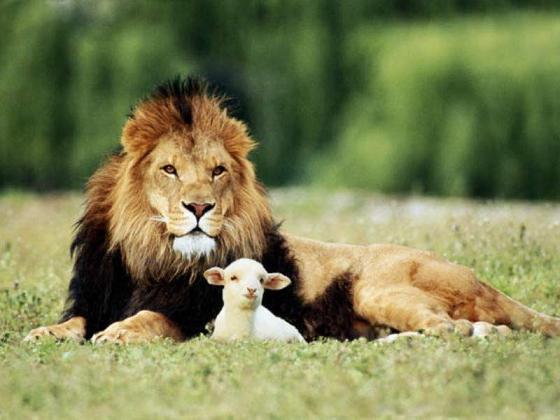 chasse des lions