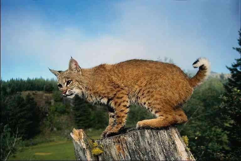 Une route de trop pour le lynx ibérique ?